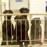 Six labradors about to be killed for animal testing