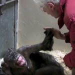Chimpanzee has emotional reunion with friend