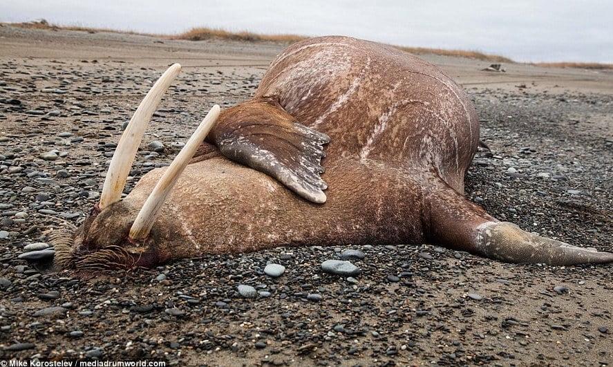 Dead walrus on beach