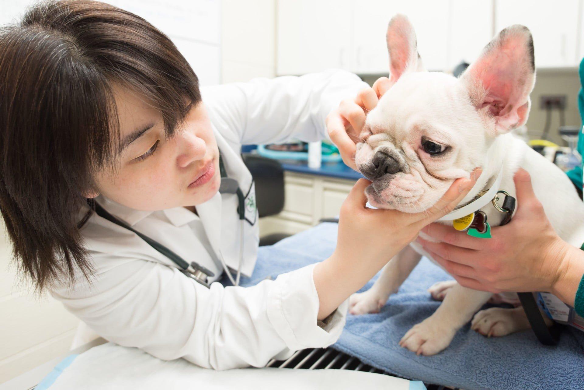 French Bulldog at vets