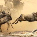 Wildebeest migration Serengeti and Masai Mara