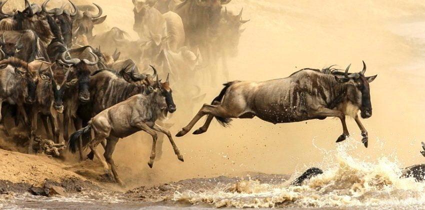 Wildebeest migration Serengeti and Masai Mara.