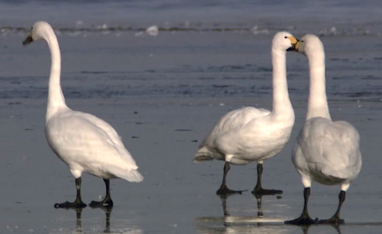 Bewick's swan in the UK is being shot at by Russian hunters in the Russian Arctic.
