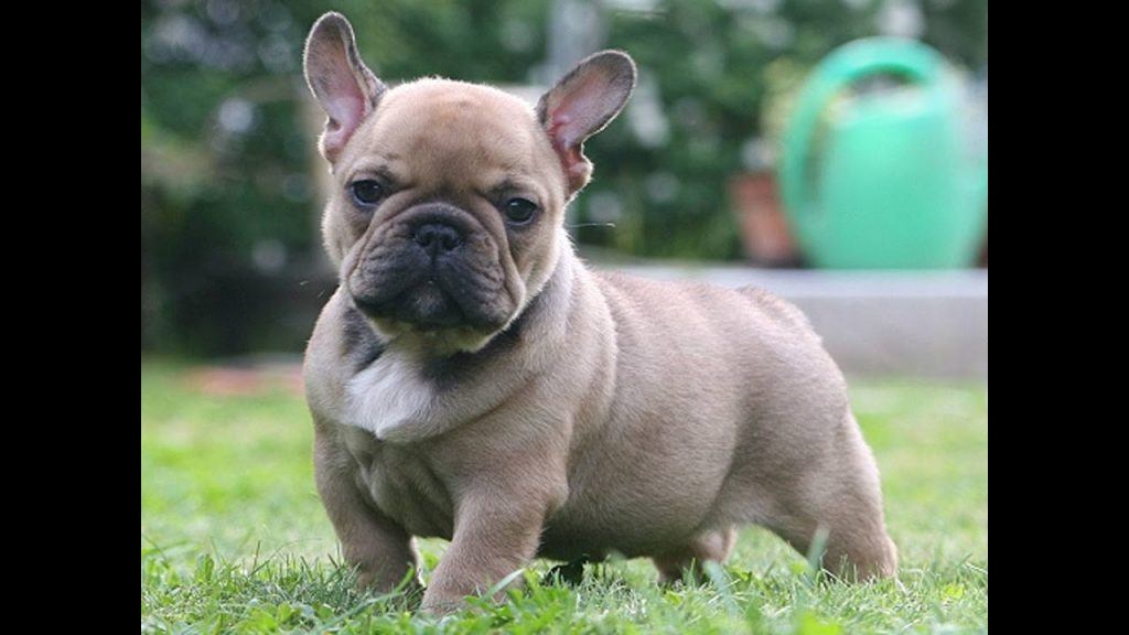 French bulldog. 20 percent carry a defective gene causing breathing issues.