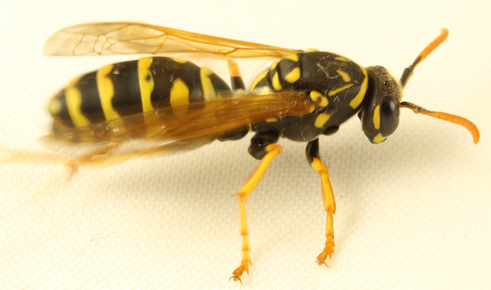 Paper wasp Polistes dominula