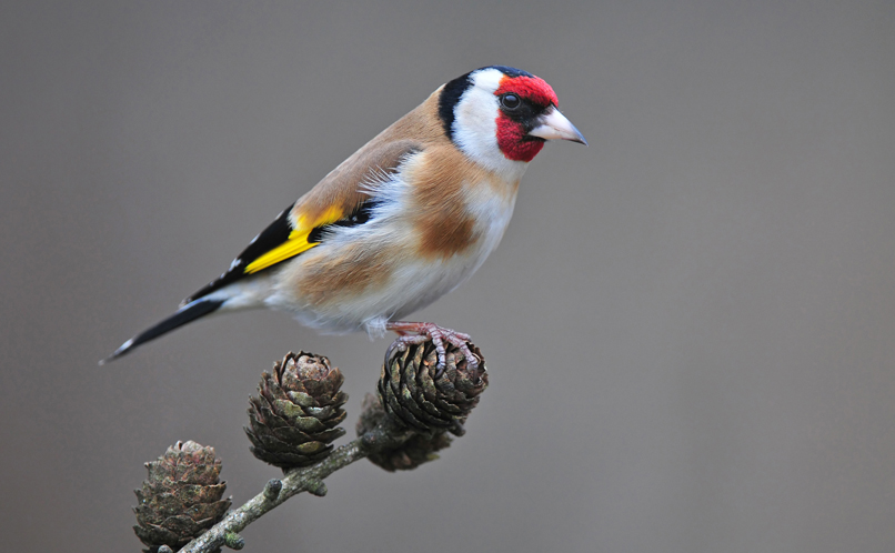 Goldfinch use bird feeders a lot.