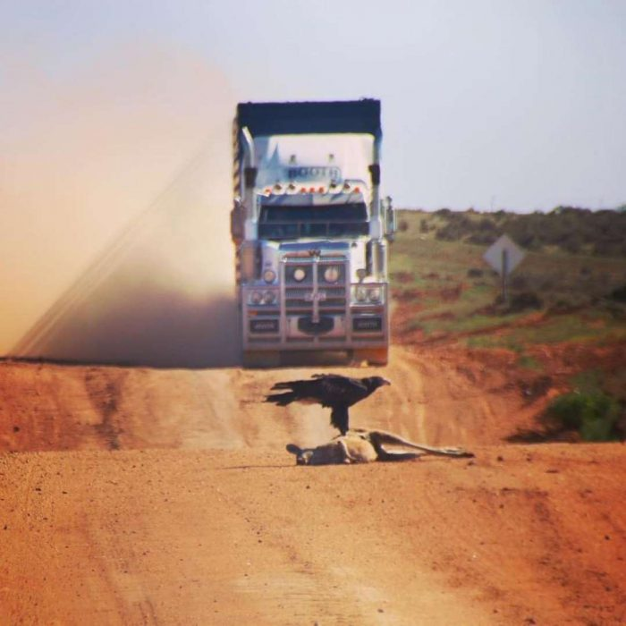Kangaroo on Australian road with vulture and truck bearing down