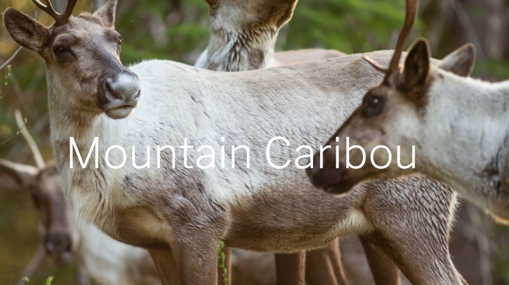 Mountain caribou are reindeer.