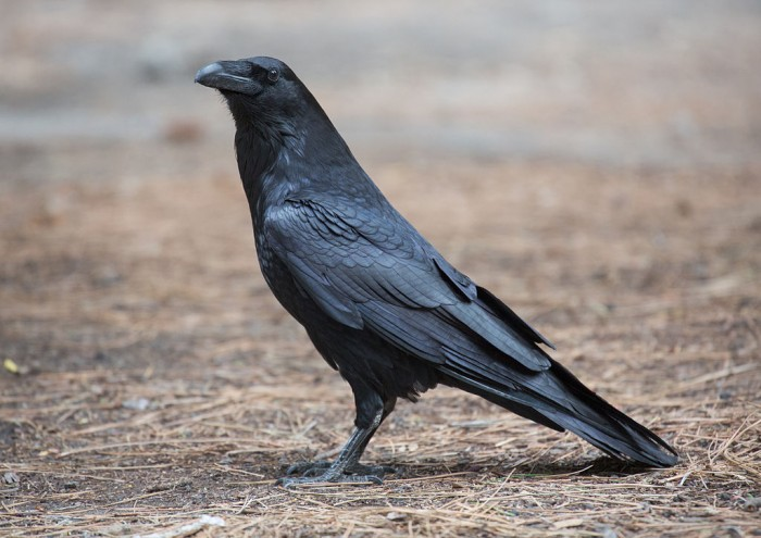 Ravens are smart and feel emotions