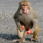 Rampaging monkey in India