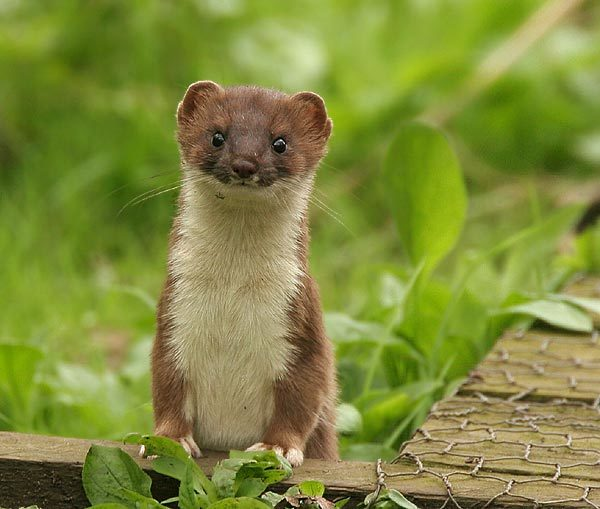 Stoat on Orkney. Scottish National Heritage are concerned that they will damage tourism by killing marine bird species and other species native to the islands.