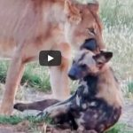Wild dog in jaws of lioness