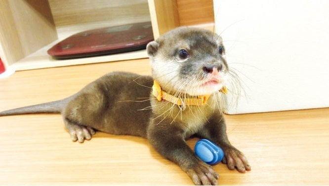 Otter pet in Japan