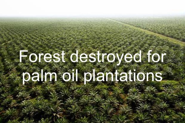 Forest destroyed for palm oil plantations
