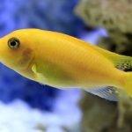 Cichlid fish species