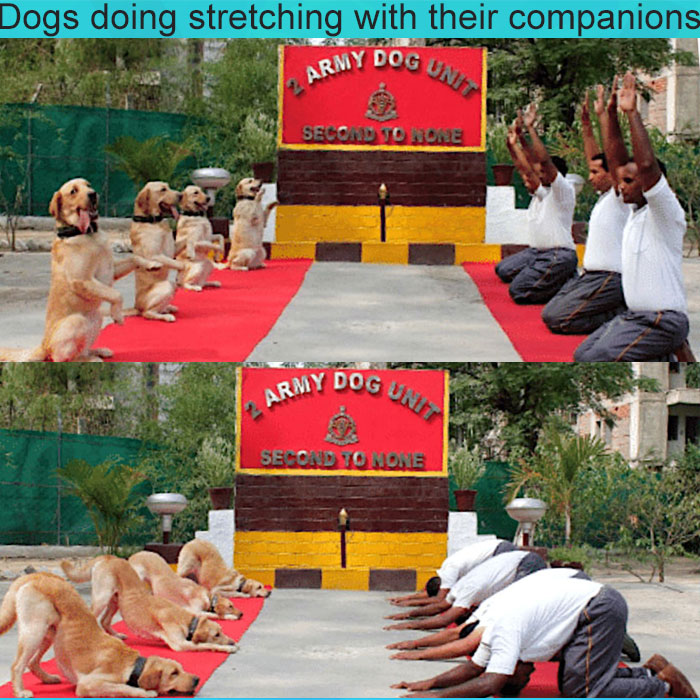 Dogs stretching with their soldier guardians.