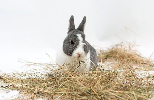 Rabbit eating hay. Photo: Wellington Rabbit Rescue