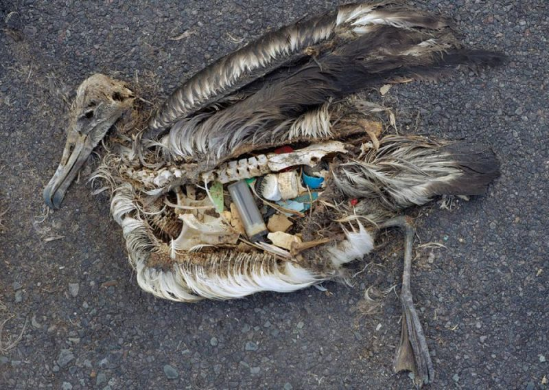 Albatross with stomach full of plastic