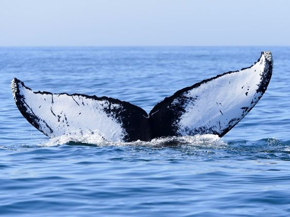 Whales like it quiet too. Photo: Bigstock.com. Humpback whale off in the Bay of Fundy, Nova Scotia.