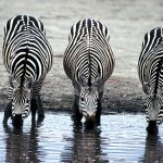 Three zebras drinking at a water hole