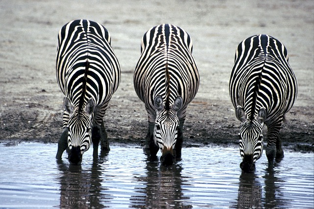 Zebra stripes keep the animal cool. That's the theory and it is an excellent one. Photo: Pixabay