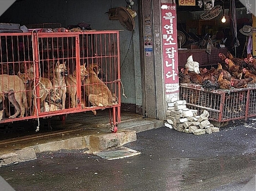 Gupo Livestock Market, Korea. Photo by Flickr photographer Korean Dogs.