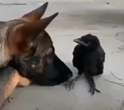 dog and crow best mates