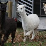 Alpacas at St. Edward's Prep School