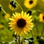 Sunflower by Mike Robinson