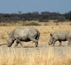 Botswana rhinos