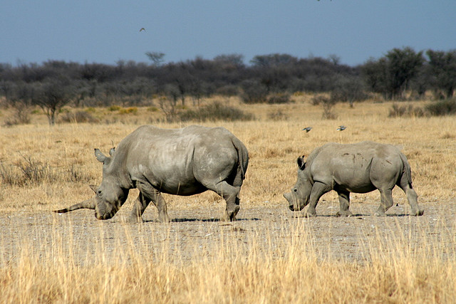 Botswana rhinos are due to become extinct in that country in 2 years due to poaching.