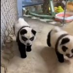 Chow chow dogs dyed to look like pandas at a cafe in China