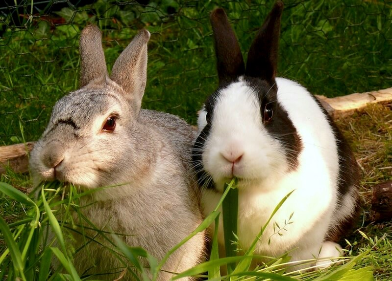 Two rabbits who are friends. Companionship is important for rabbits as they are social animals. Photo in public domain.