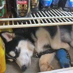 Oi a Husky who likes to sleep in the fidge in hot Australia. He has been stolen.
