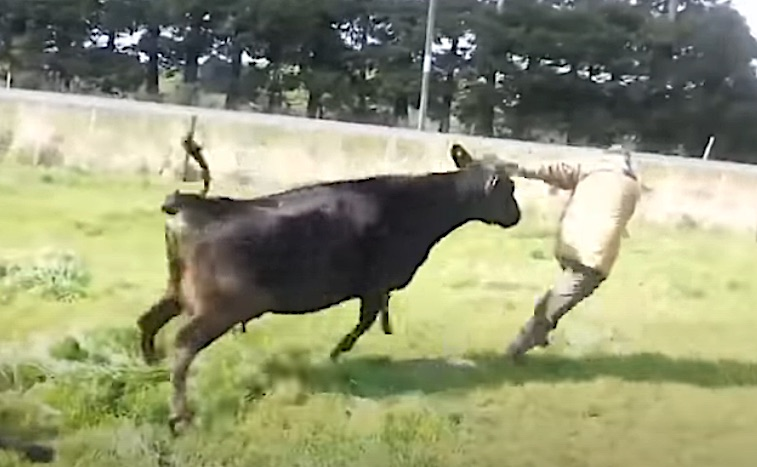 Mother cow attacks man after he picked up her calf.