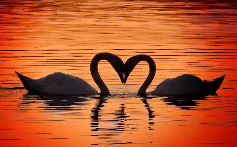 Swans in love.