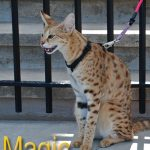 Magic - F1 Savannah cat