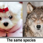 Dog and wolf same species