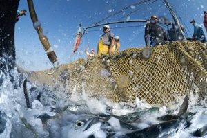Fish in nets