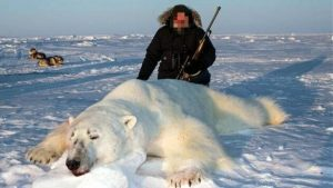 Trophy hunted polar bear