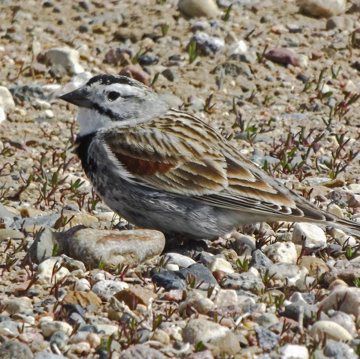 Thick-billed longspur formely McCown's Longspur
