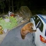 Bear breaks into car in search of food