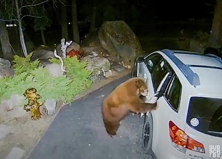 Bear breaks into car in search of food