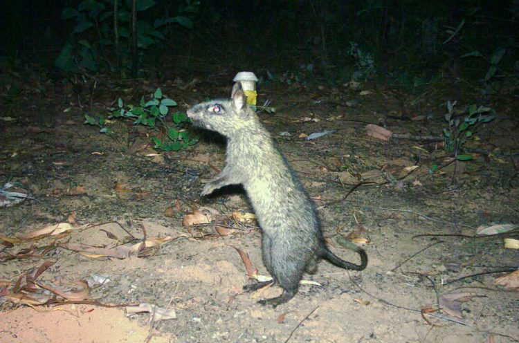 The native black-footed tree-rat