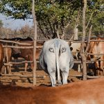 Bum stare: protecting cattle from lion attack in Botswana and elsewhere in Africa