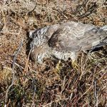 Buzzard killed by pesticide deliberately put down