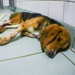 Dog at Laboratory of Pharmacology and Toxicology (LPT)