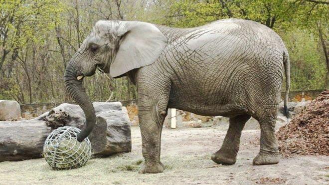 Fredzia a young female elephant