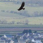 The glorious golden eagle of Wales