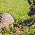 Havoc and a pangolin